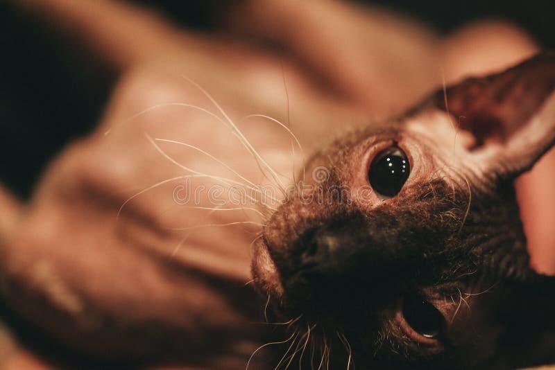 Sfinxkattstående Closeupen tystar ned av en skallig katt Mörk toning Utforma för filmkorn royaltyfri foto