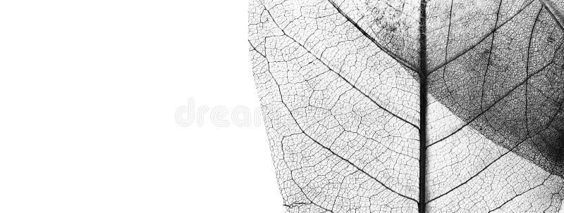 100pcs Naturale Foglie di Scheletro di Foglie di Scheletro Magnolia Carta Bianca e caff/è