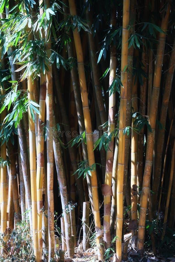 Sfondo dell'albero, grande, bambù, immagine di sfondo degli alberi per download gratuito fotografia stock libera da diritti
