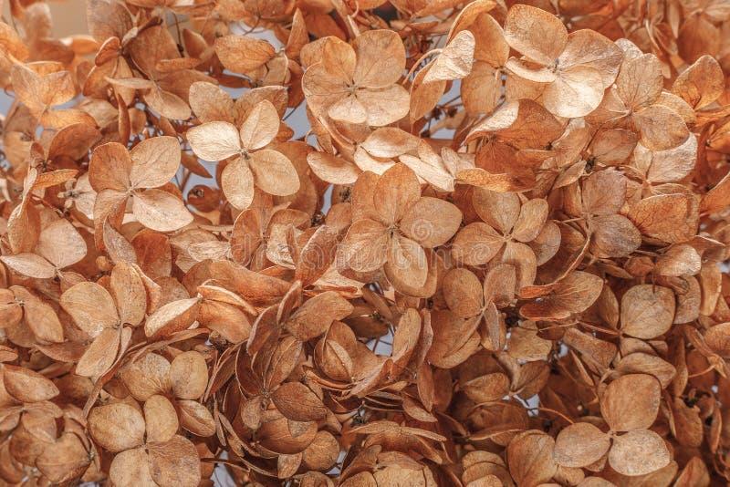 Sfondo di chiusura dei fiori di idranea secco per illustrare la fragilità, la transitorietà della vita Contesto naturale naturale fotografie stock