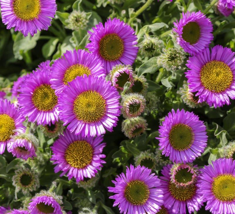 Sfondo di fiori rosa immagine stock