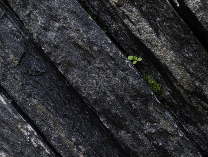 Sfondo di una pianta che cresce su una vecchia Pietra di Black Cracked immagine stock libera da diritti