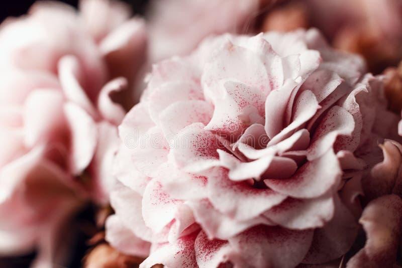 Sfondo naturale Bei fiori rosa delicati della macro di Kalanchoe Macro vista di struttura e del fondo astratti della natura immagini stock