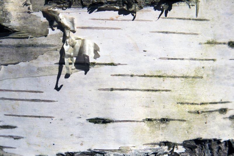 Sfondo naturale in bianco e nero misero della corteccia di betulla fotografia stock libera da diritti