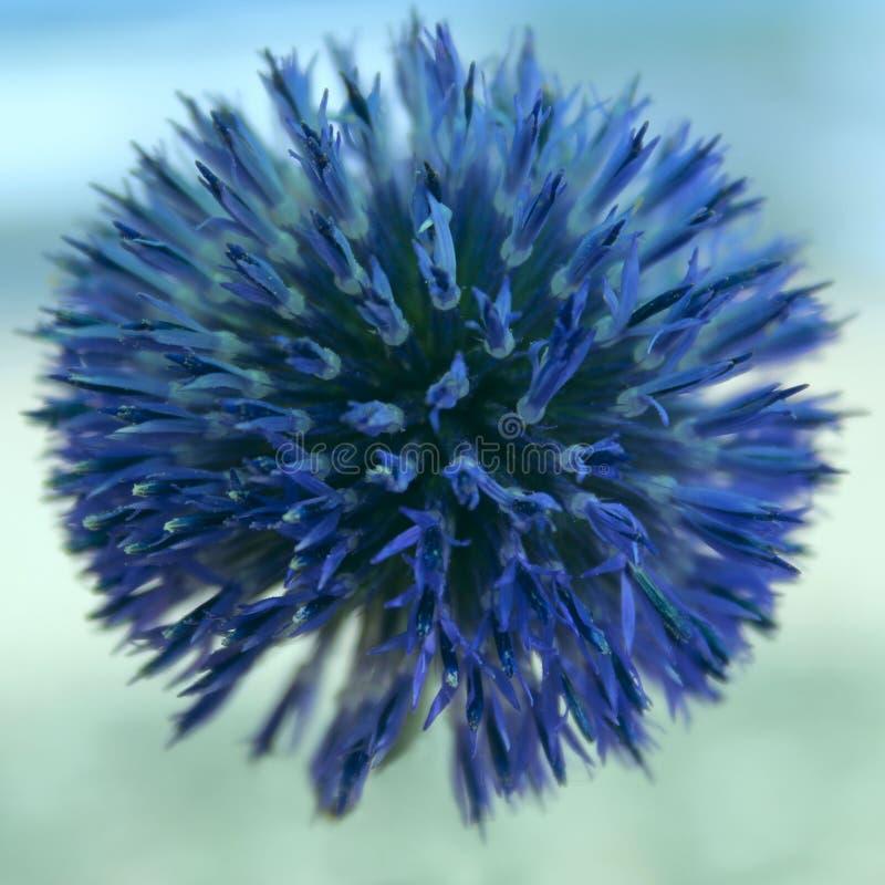 Sfondo naturale blu Fiore rotondo blu blu immagine stock