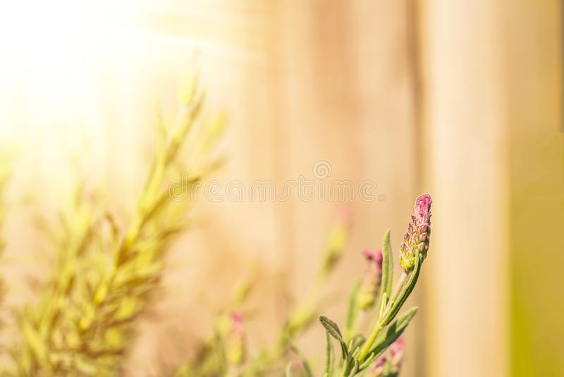 Sfondo naturale con i fiori della lavanda contro fondo di legno Giorno soleggiato nel giardino fotografia stock libera da diritti