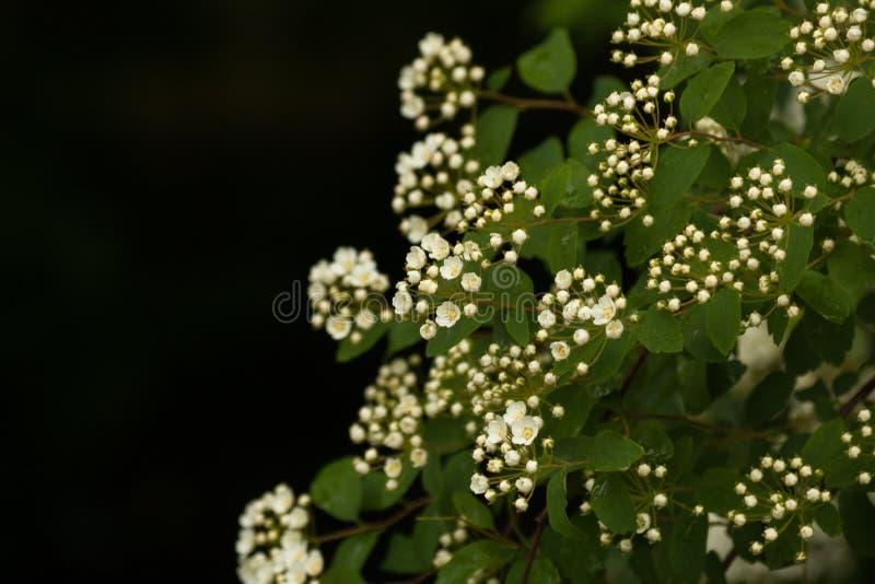 Sfondo naturale con i rami dello spirea bianco fotografia stock libera da diritti
