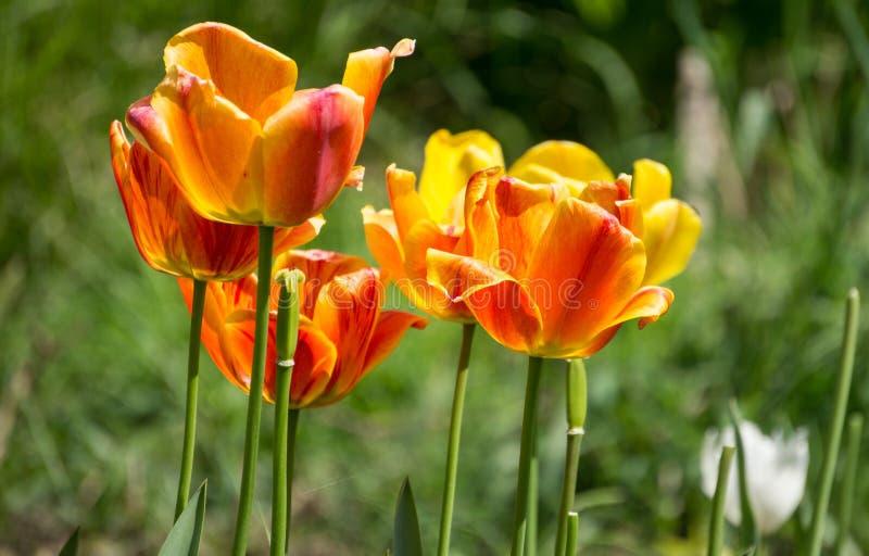 Sfondo naturale con i tulipani fotografia stock libera da diritti