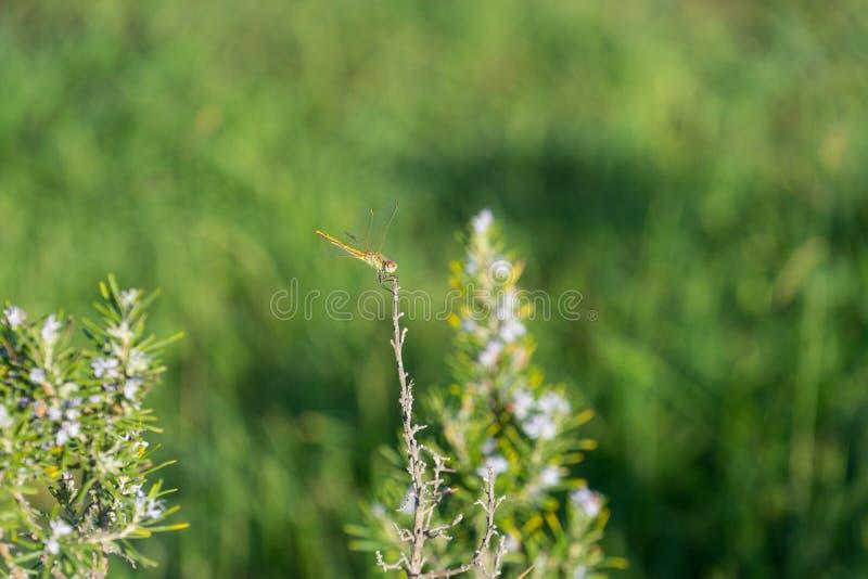 Sfondo naturale con la libellula che si siede su un ramo un giorno soleggiato fotografia stock
