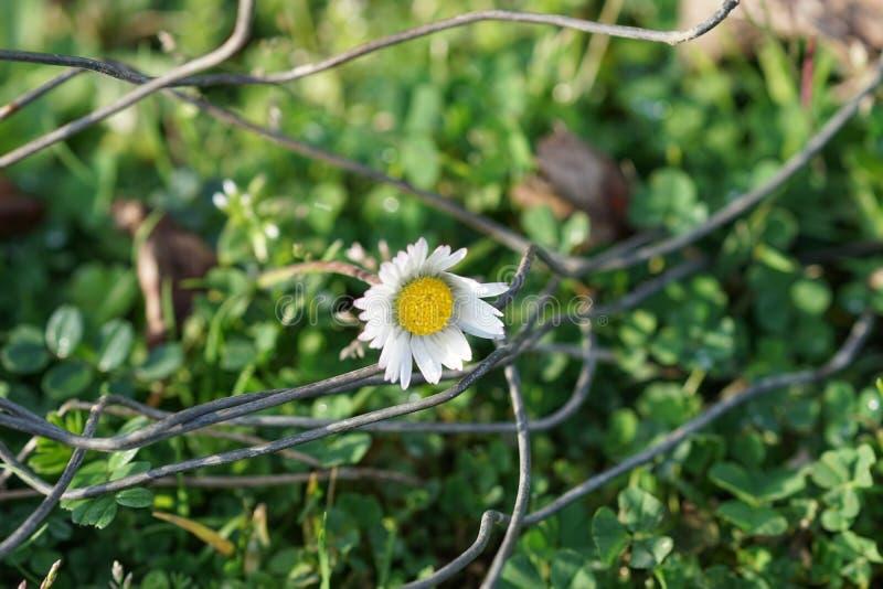 Sfondo naturale con la margherita bianca nell'erba verde fotografia stock libera da diritti