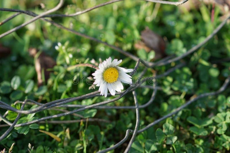 Sfondo naturale con la margherita bianca nell'erba verde fotografie stock