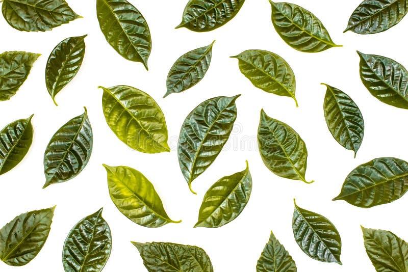 Sfondo naturale con le foglie verdi isolate su fondo bianco immagine stock