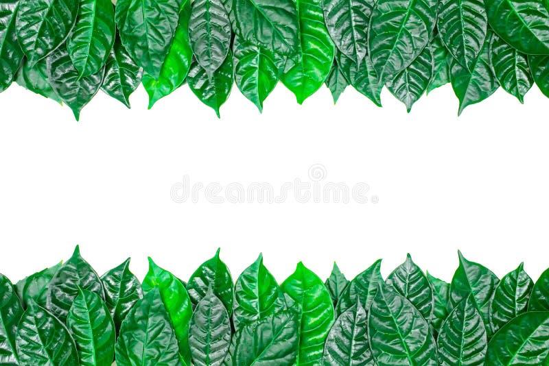 Sfondo naturale con le foglie verdi isolate su fondo bianco fotografia stock