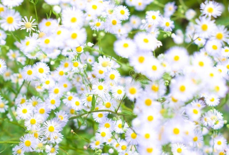 Sfondo naturale con le piccole margherite bianche fotografie stock libere da diritti