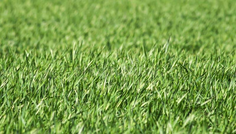 Sfondo naturale con molto giovane erba succosa verde che cresce nel campo agricolo in primavera di chiaro giorno fotografia stock