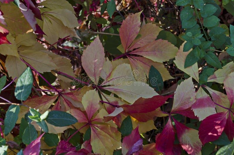 Sfondo naturale da fogliame autunnale dell'albero rosso, giallo, verde, rosa, bianco delle foglie sulla costa di Mar Nero immagine stock