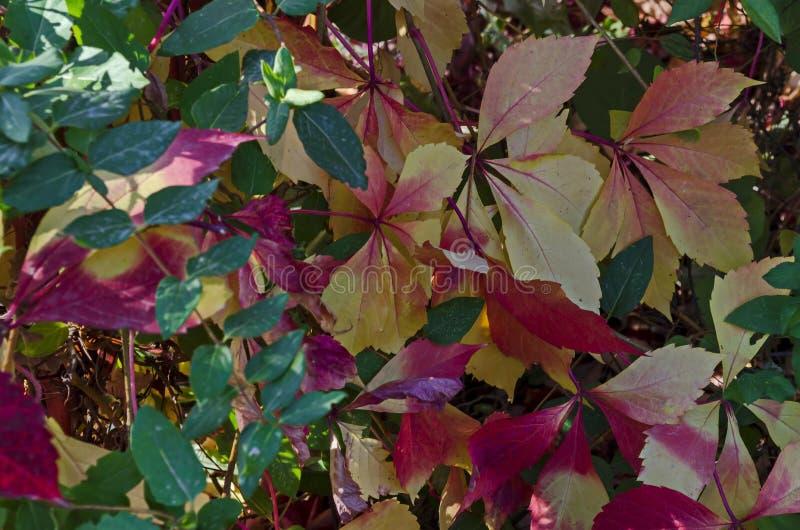 Sfondo naturale da fogliame autunnale dell'albero rosso, giallo, verde, rosa, bianco delle foglie sulla costa di Mar Nero immagini stock
