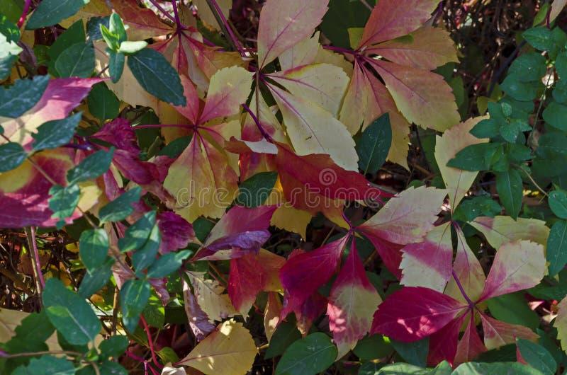 Sfondo naturale da fogliame autunnale dell'albero rosso, giallo, verde, rosa, bianco delle foglie sulla costa di Mar Nero immagini stock libere da diritti