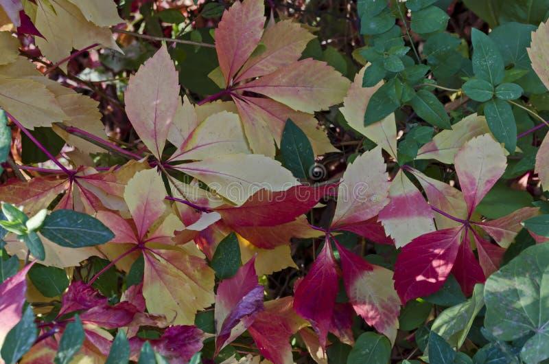 Sfondo naturale da fogliame autunnale dell'albero rosso, giallo, verde, rosa, bianco delle foglie sulla costa di Mar Nero immagine stock libera da diritti