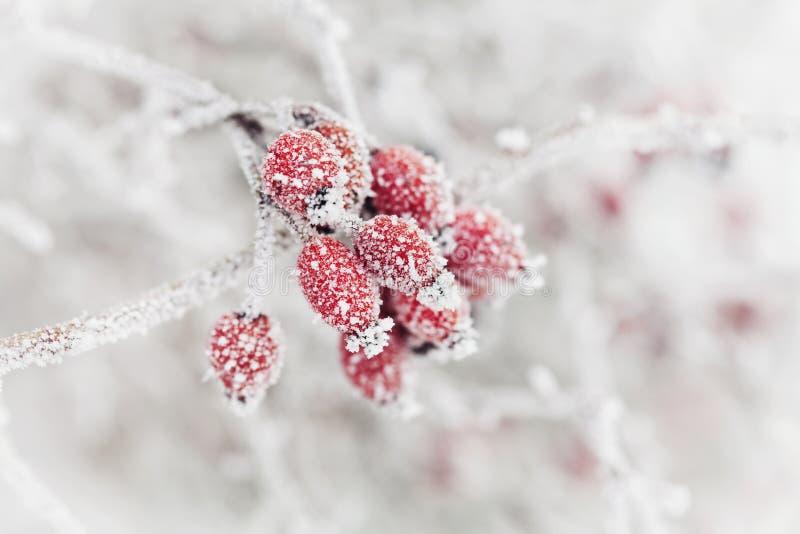 Sfondo naturale dalla bacca rossa coperta di brina o di brina Scena di mattina di inverno della natura immagini stock libere da diritti