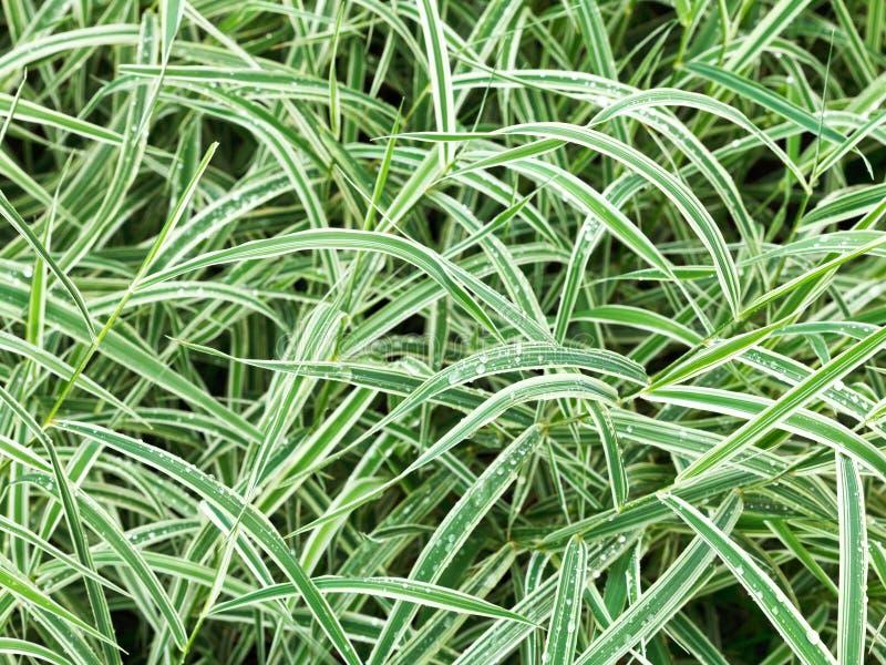 Sfondo naturale dalle foglie verdi bagnate del Carex immagine stock