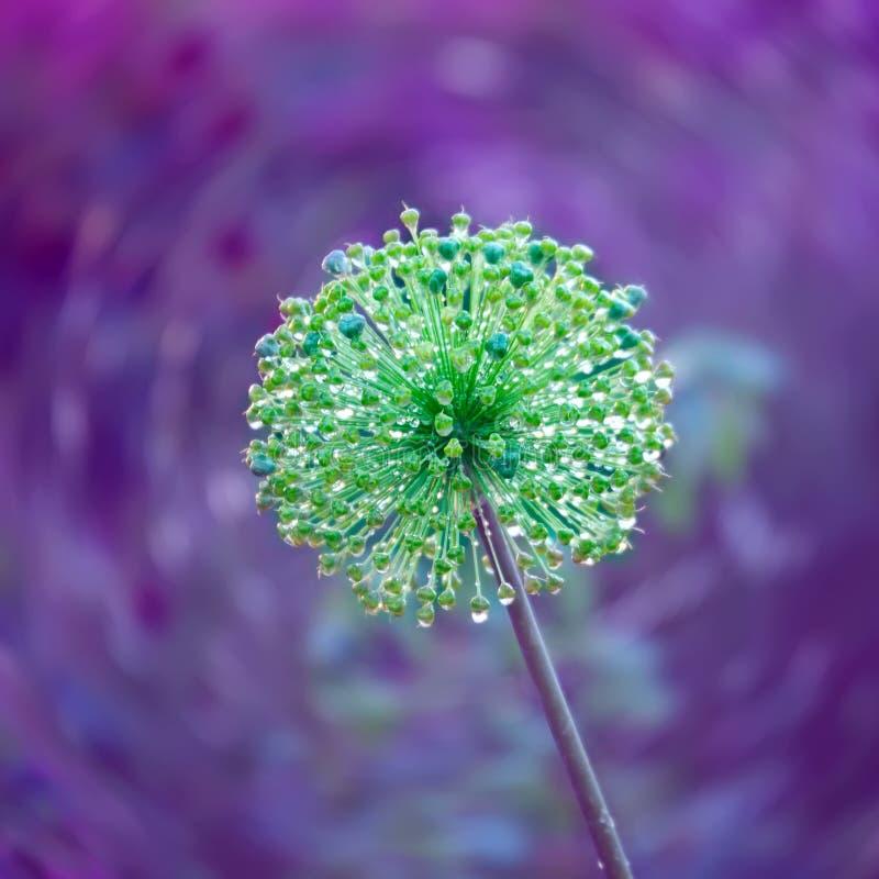 Sfondo naturale decorativo con il fiore della cipolla con Dott. della pioggia immagini stock