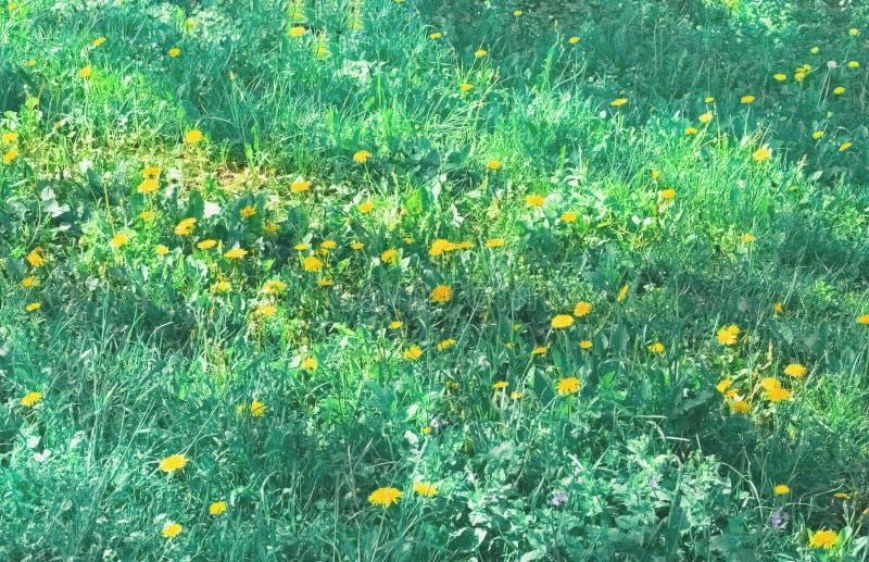 Sfondo naturale dei fiori del dente di leone su erba verde fotografie stock libere da diritti
