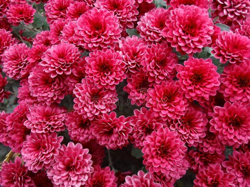 Sfondo naturale dei fiori rossi del crisantemo fotografia stock libera da diritti