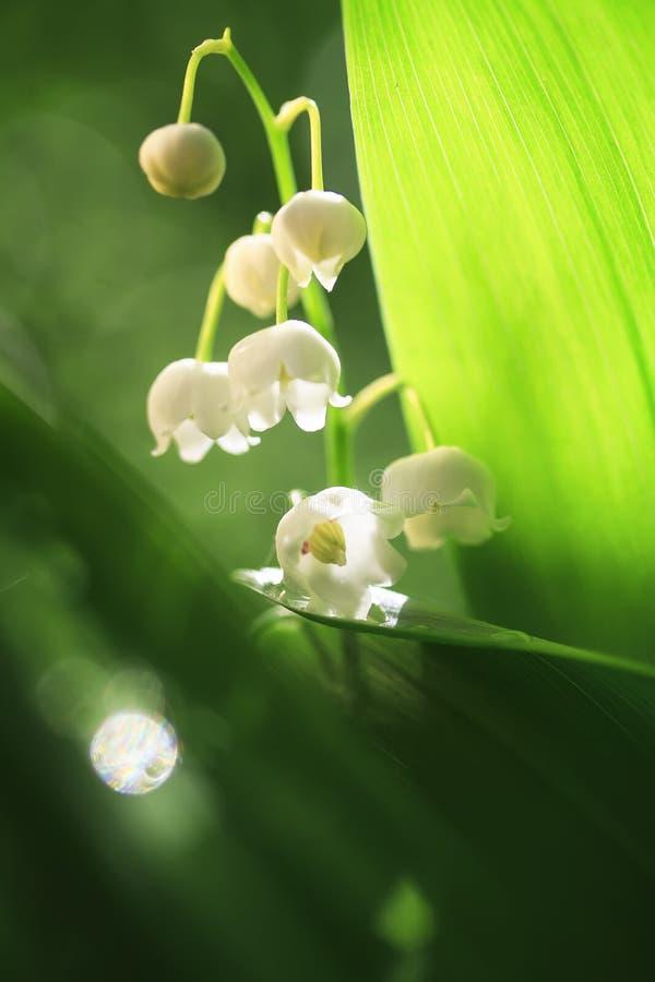 Sfondo naturale del giglio o del fiore bianco e del fogliame verde fertile fotografie stock libere da diritti