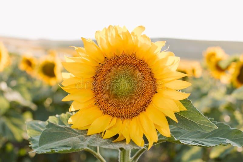 Sfondo naturale del girasole Vista alta vicina dei girasoli in fioritura fotografia stock