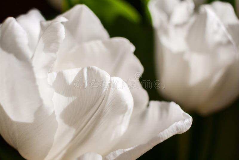 Sfondo naturale del primo piano bianco dei tulipani fotografia stock libera da diritti