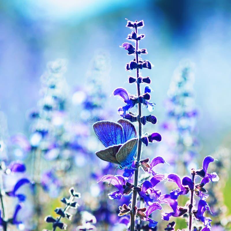 Sfondo naturale del quadrato con i piccoli blu blu luminosi della farfalla che si siedono sui fiori porpora nel giorno soleggiato fotografia stock libera da diritti