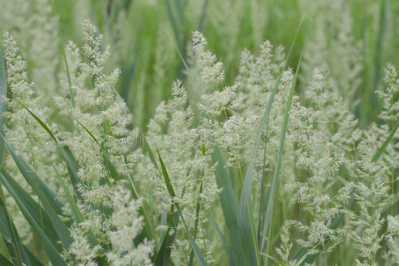 Sfondo naturale dell'erba del campo Prato verde Fuoco molle fotografia stock libera da diritti