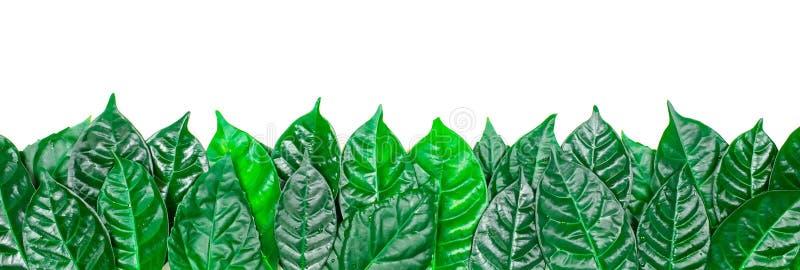 Sfondo naturale dell'insegna con le foglie verdi isolate su fondo bianco fotografia stock libera da diritti