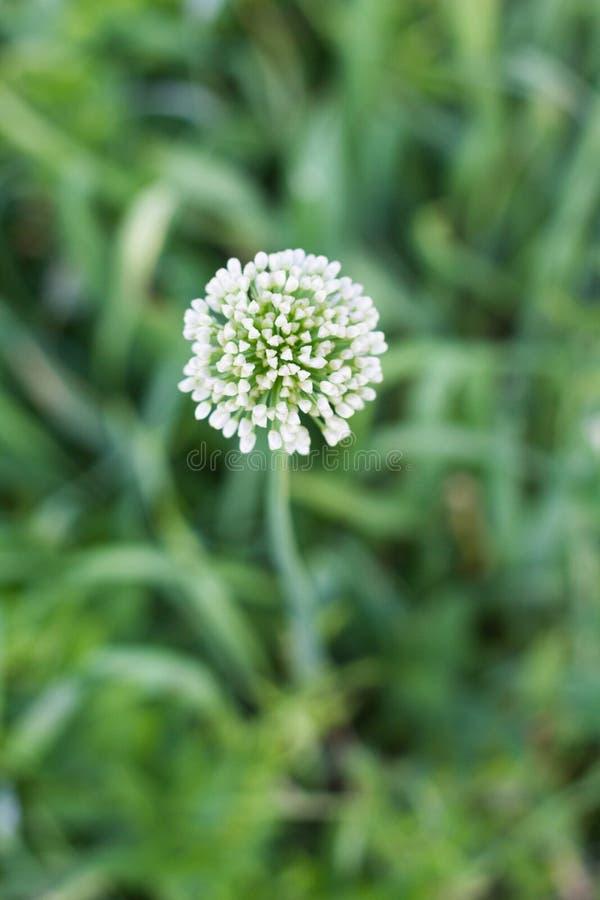 Sfondo naturale della cipolla del fiore bianco fotografie stock libere da diritti