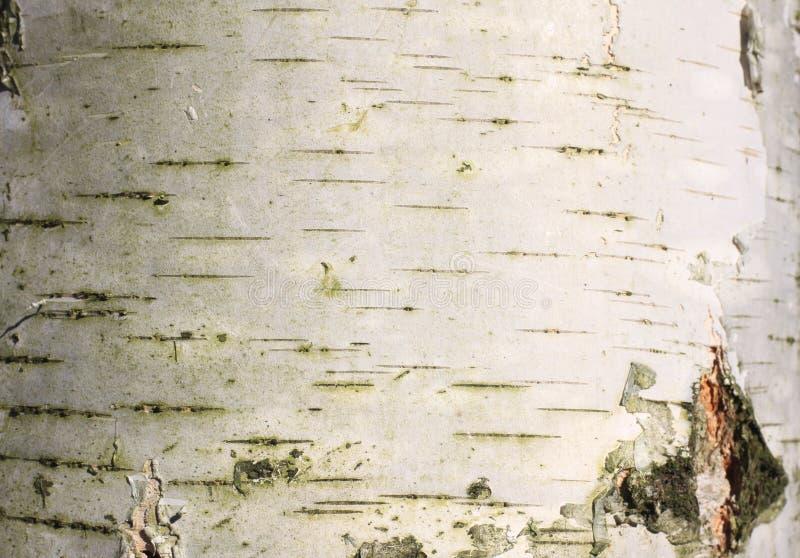 Sfondo naturale della corteccia di betulla immagini stock libere da diritti