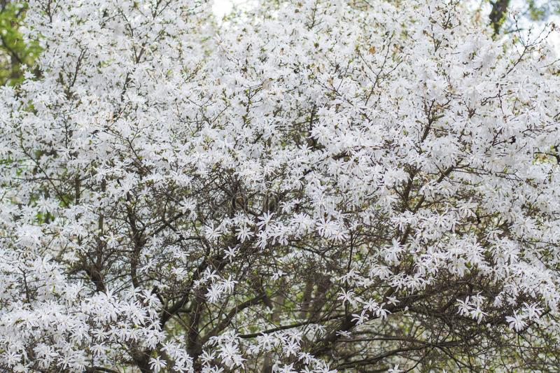 Sfondo naturale della magnolia bianca di fioritura fotografie stock