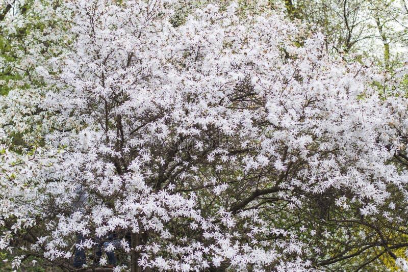 Sfondo naturale della magnolia bianca di fioritura fotografie stock libere da diritti