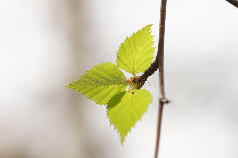 Sfondo naturale della primavera con le giovani foglie della betulla fotografia stock