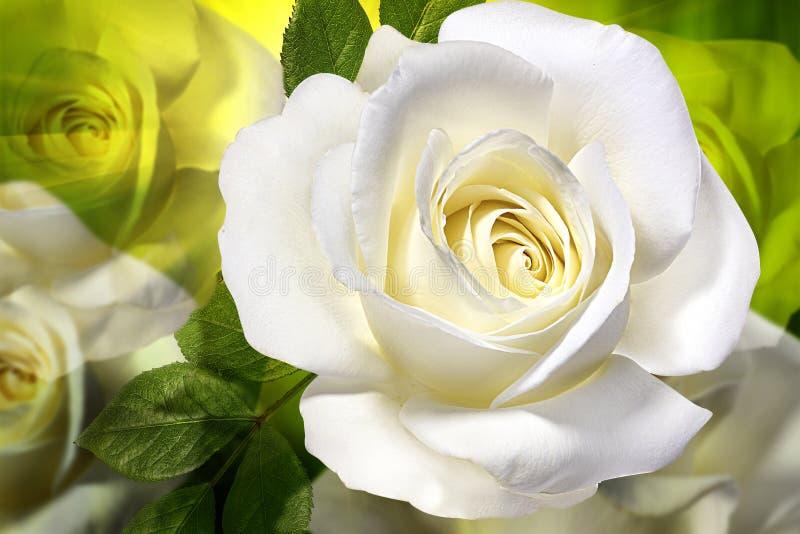 Sfondo naturale della rosa di bianco fotografia stock