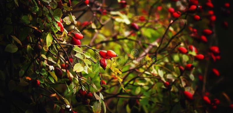 Sfondo naturale di autunno, bacche del cinorrodo sul cespuglio, selectiv fotografia stock libera da diritti