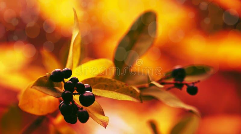 Sfondo naturale di autunno con le bacche nere e fogliame arancio, paesaggio di caduta, filtro d'annata, posto per testo fotografie stock libere da diritti