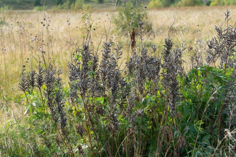 Sfondo naturale di autunno Erba accesa dal sole fotografia stock