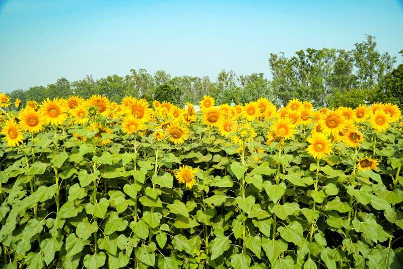 Sfondo naturale di girasole Fioritura di girasole Chiusura di girasole Bel campo di girasole Fiore di girasole brillante immagine stock