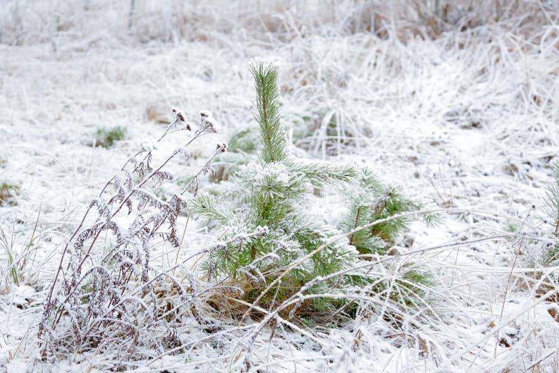 Sfondo naturale di inverno stupefacente Tiro verde gelido di giovani alberi Verde e bianco fotografia stock
