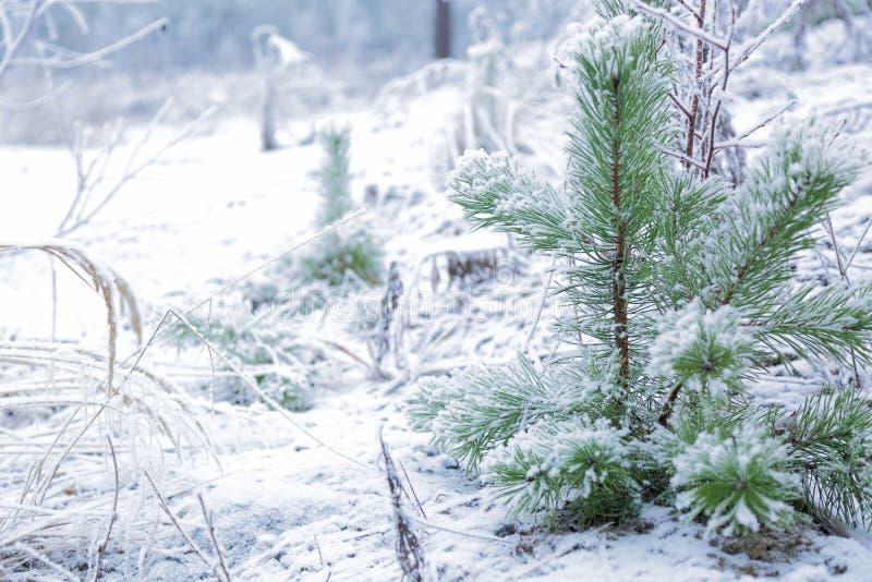 Sfondo naturale di inverno stupefacente Tiro verde gelido di giovani alberi Verde e bianco fotografie stock libere da diritti