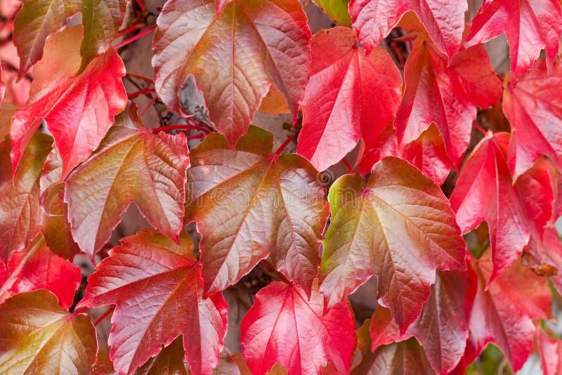 Sfondo naturale di Ivy Parthenocissus Quinquefolia rossa fotografie stock