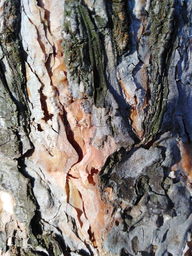 Sfondo naturale di struttura di legno Corteccia di pino Colori grigi, arancio, verdi fotografie stock