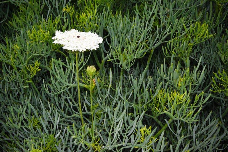 Sfondo naturale di un fiore bianco di fioritura nel campo verde fotografie stock libere da diritti