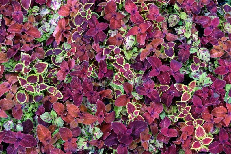 Sfondo naturale fatto dei fiori e delle foglie rossi porpora fotografie stock libere da diritti